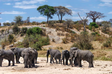 Herd of Elephants looking for water Фото со стока