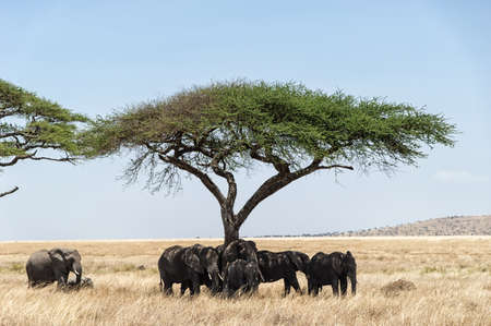 acacia tree: Acacia tree on Serengeti Plain, Tanzania with herd of elephant