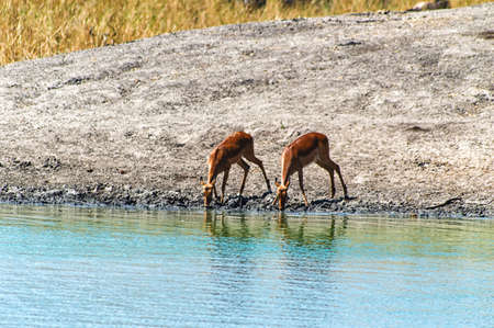 faced: 2 Black faced Impala drinking from camp waterhole