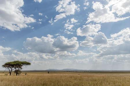 acacia tree: Lone Acacia Tree, Serengeti National Park, Tanzania Stock Photo
