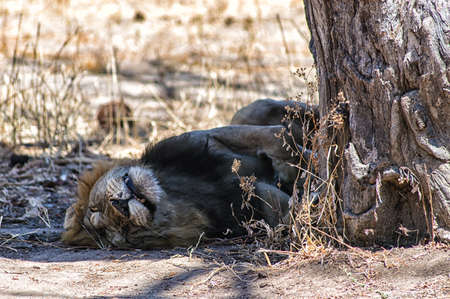 furred: Lion Sleeping in the shade of a tree, at Serengeti, Tanzania Stock Photo