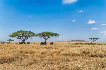 Acacia tree on Serengeti Plain, Tanzania with herd of elephant