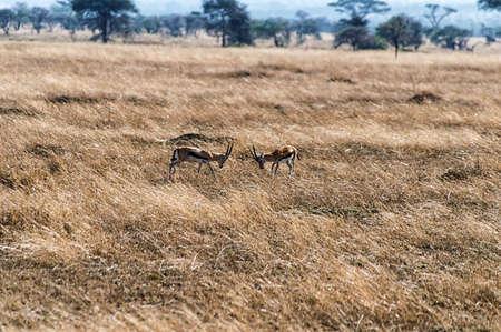 tanzania antelope: Two Impalas fighting on the plains of the Serengeti, Tanzania