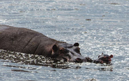 water park: hippo mother with her child Serengeti National Park, Tanzania