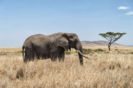 acacia tree: An African Elephant with typical acacia tree in the background, Serengeti National Park , Tanzania