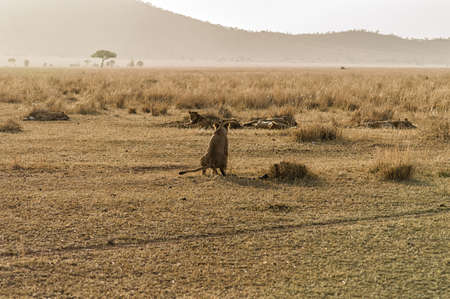 big5: Lioness in the Early Morning Mist