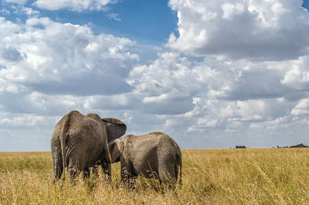 adult kenya: African elephant with calf in the savannah.