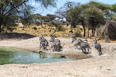 the water hole: A herd of common zebras, Equus Quagga, near a water hole in Serengeti National Park, Tanzania Stock Photo