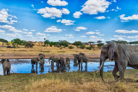 Elephant Herd at a waterhole in the Serengeti nature reserve, Tanzania