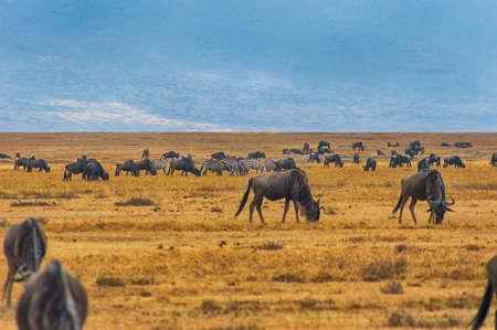 conservation grazing: Big herd of Wildebeests grazing in Serengeti National Park in Tanzania, East Africa.