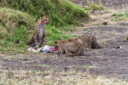 merciless: Cheetah feeding on a dead impala Stock Photo