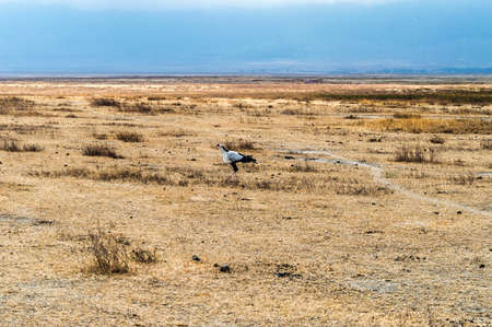 to the secretary: Secretary bird walking in yellow grass