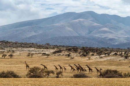 mid distance: giraffe of all sizes in a row against rolling landscape of the Serengeti, Tanzania