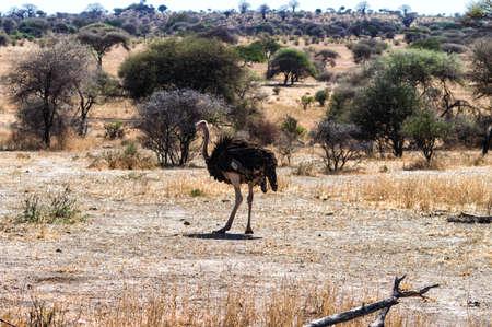 struthio camelus: Struthio camelus (Ostrich), male - Serengeti National Park, Tanzania