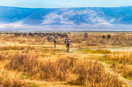 tanzania antelope: Zebras and Wildebeest trekking though the Ngorongoro Conservation Area,Tanzania