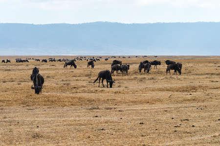east africa: Big herd of Wildebeests grazing in Serengeti National Park in Tanzania, East Africa.