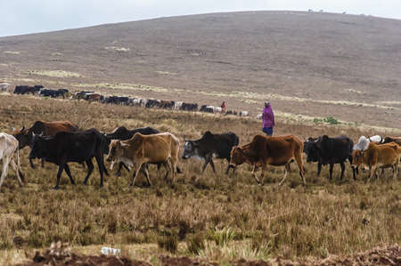 herding: Masai herding cattle in the late afternoon