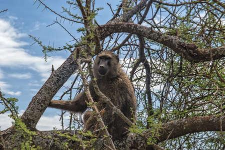 baboon: A Baboon sitting on tree