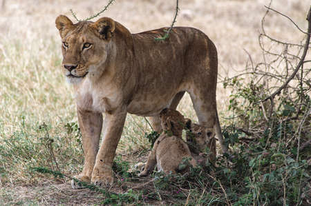 one parent: A lioness and two cubs. Image taken in Ngorongoro Crater, Tanzania. Stock Photo