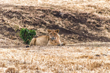 aciculum: Lioness resting and looking into the camera, Ngorogoro Nature Reserve, Tanzania