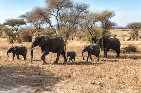 chobe national park: Elephant Herd walking in the Serengeti, Tanzania