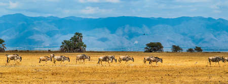 taurinus: A panorama of a group of Blue Wildebeest or Gnu (Connochaetes taurinus) walking in a line,Tanzania,Africa