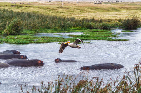 smal: Pelican flying over hippos at smal lake in the Serengeti, Tanzania Stock Photo