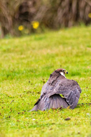 peregrine: Peregrine Falcon sitting on the ground and eating his prey Stock Photo