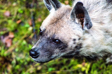 scavenge: A Spotted Hyena Close up