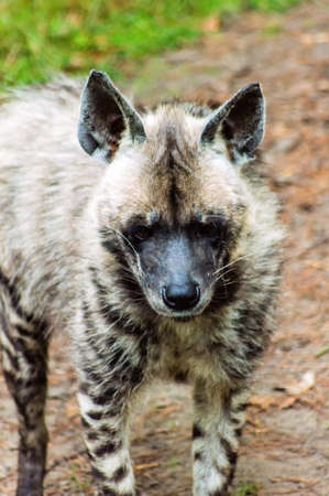 spotted: A Spotted Hyena Close up