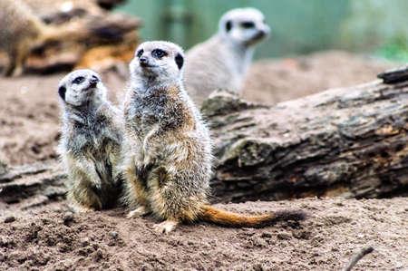 good posture: suricatas o suricates de pie mirando hacia fuera. Foto de archivo