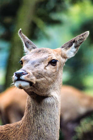 venado: doe de Sika deer (lat. Cervus nippon)