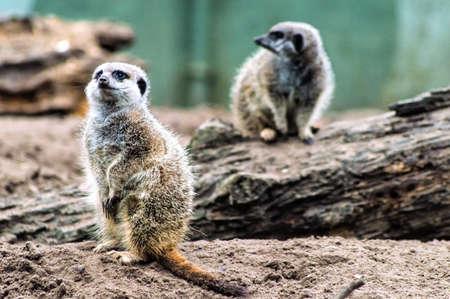 buena postura: suricatas o suricates de pie mirando hacia fuera. Foto de archivo