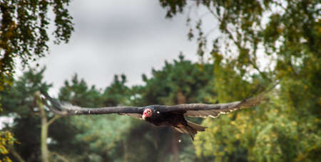 shree: Red-headed vulture male flying