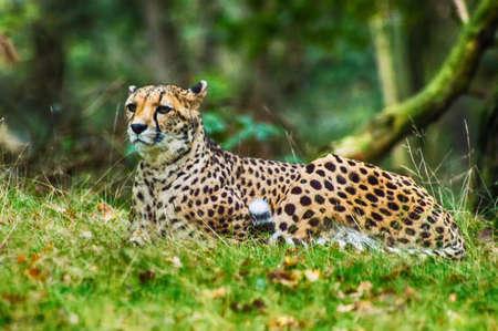 jubatus: A cheetah (Acinonyx jubatus)