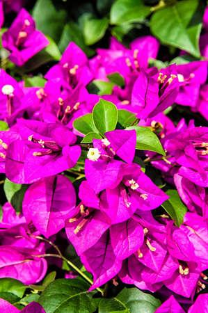 forbidden love: purple violet flowers background
