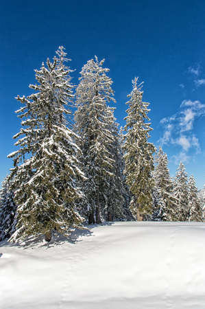 getting away from it all: Winter wonderland, Spruce Tree Forest covered by snow in the warm light of the setting sun
