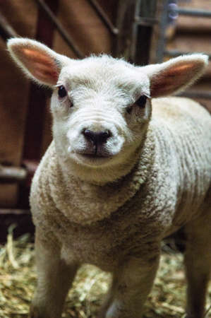 guileless: Close up head shot of a young lamb