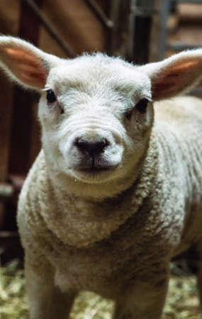 guileless: Close up head shot of a young lamb
