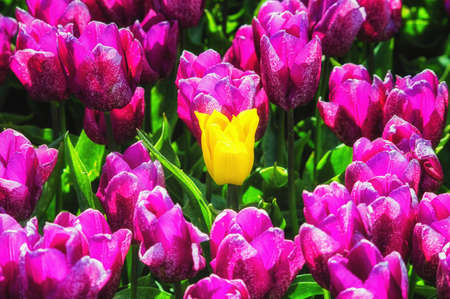 noord: Purple Tulip Field with one Yellow