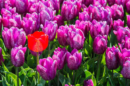 noord: Purple Tulip Field with one Red