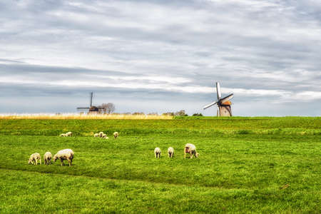 dutch typical: Typical dutch rural scene in spring with sheep and a windmill in the background in the Netherlands. Stock Photo