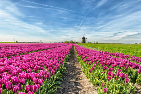 dutch culture: Colorful tulip field in front of a traditional Dutch windmill