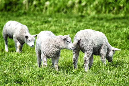 spring lambs: Spring Lambs (Ovis aries) Grazing in a Green Field