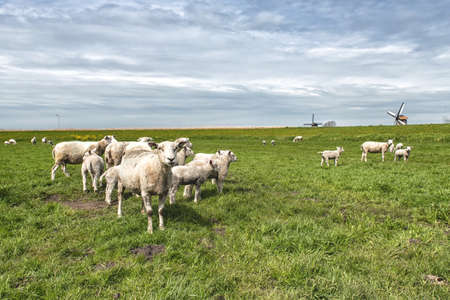naivety: sheep with lambs on the meadow Stock Photo