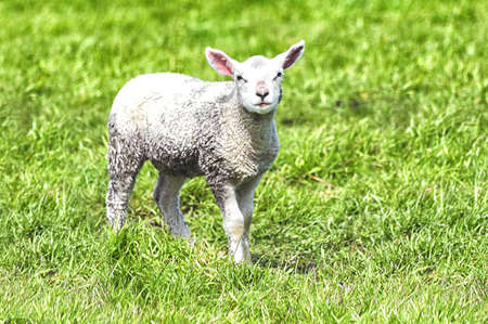 allegory painting: curious little lamb on green grass