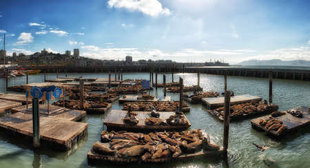 hauling: First appearing in 1989, the sea lions have been hauling out at Pier 39 in ever increasing numbers. Now monitored by the Marine Mammal Center. Editorial