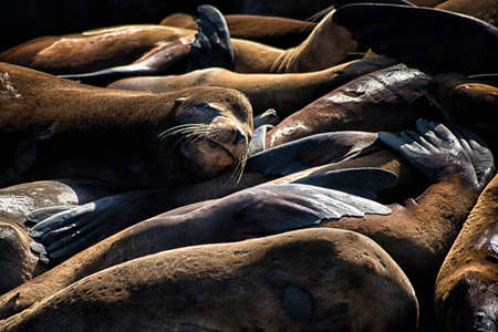 monitored: First appearing in 1989, the sea lions have been hauling out at Pier 39 in ever increasing numbers. Now monitored by the Marine Mammal Center. Stock Photo