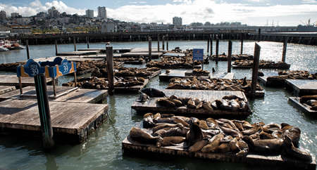 monitored: First appearing in 1989, the sea lions have been hauling out at Pier 39 in ever increasing numbers. Now monitored by the Marine Mammal Center. Editorial