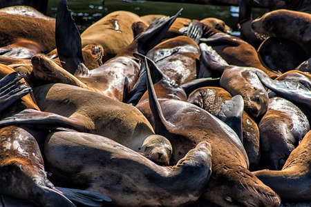 hauling: First appearing in 1989, the sea lions have been hauling out at Pier 39 in ever increasing numbers. Now monitored by the Marine Mammal Center. Stock Photo